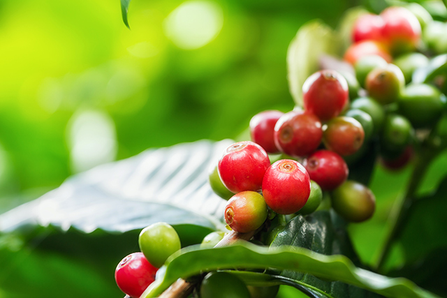 Microscopic Parasites >> New Detection Method Helps Coffee Farmers Fight Back Against